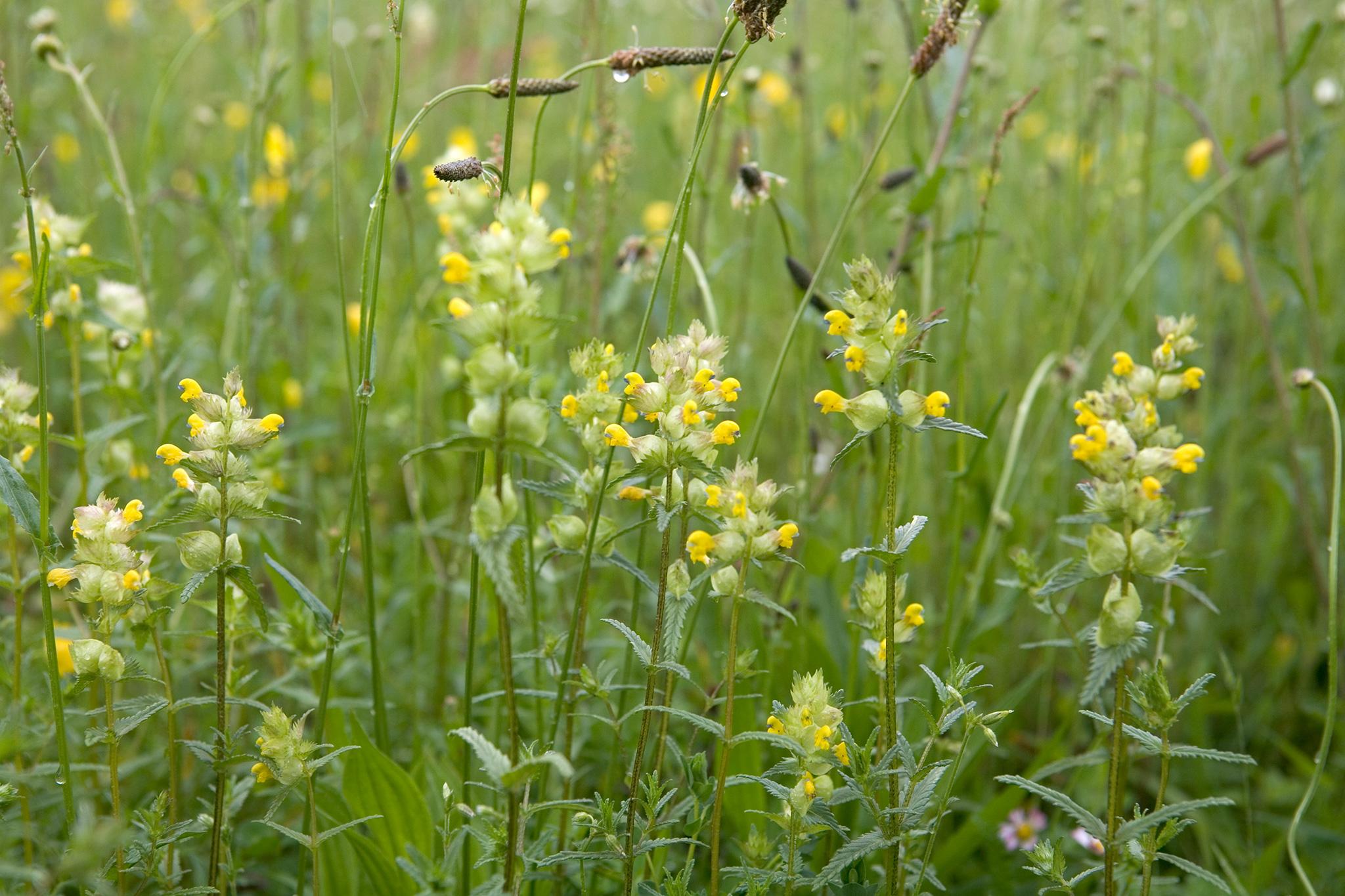 yellow-rattle-rhinanthus-minor-2