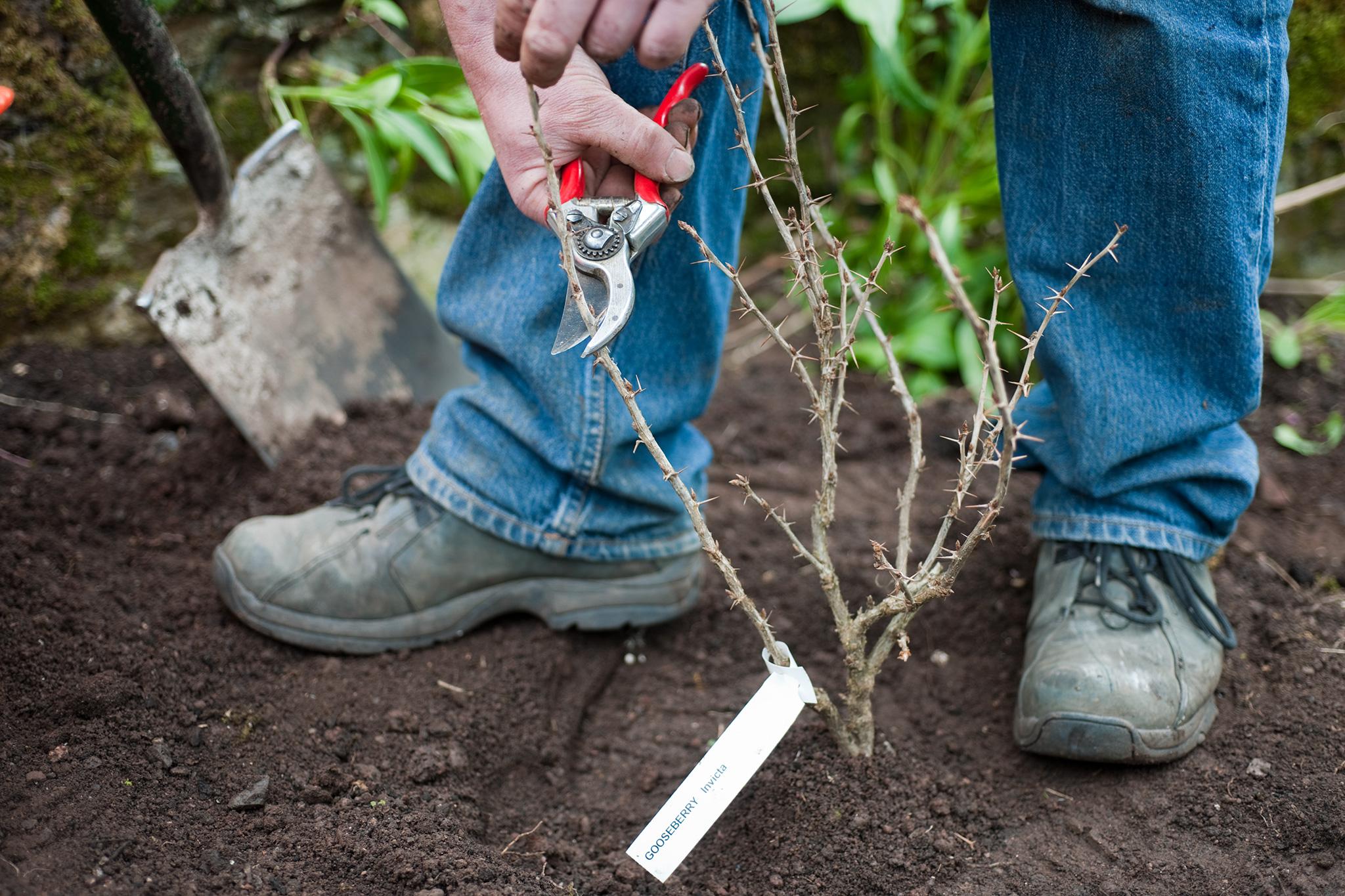 pruning-gooseberry-2