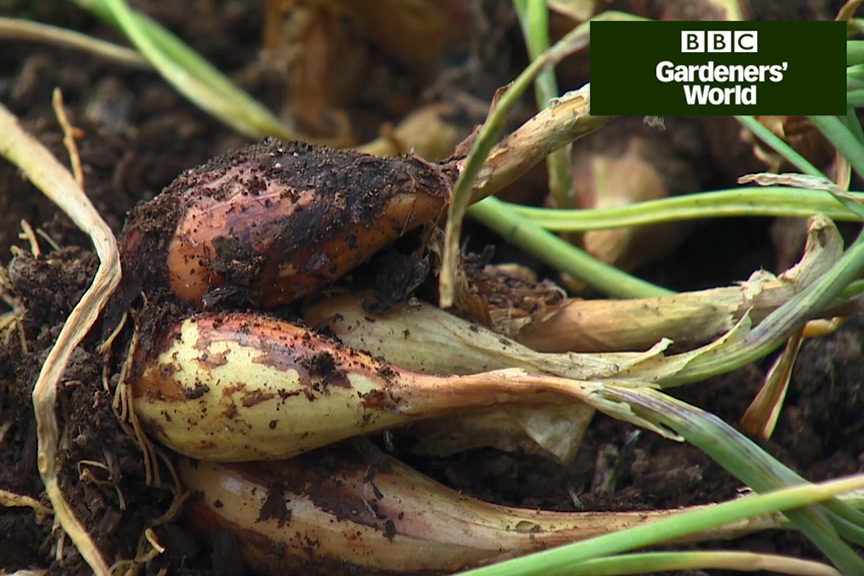 How to harvest shallots video