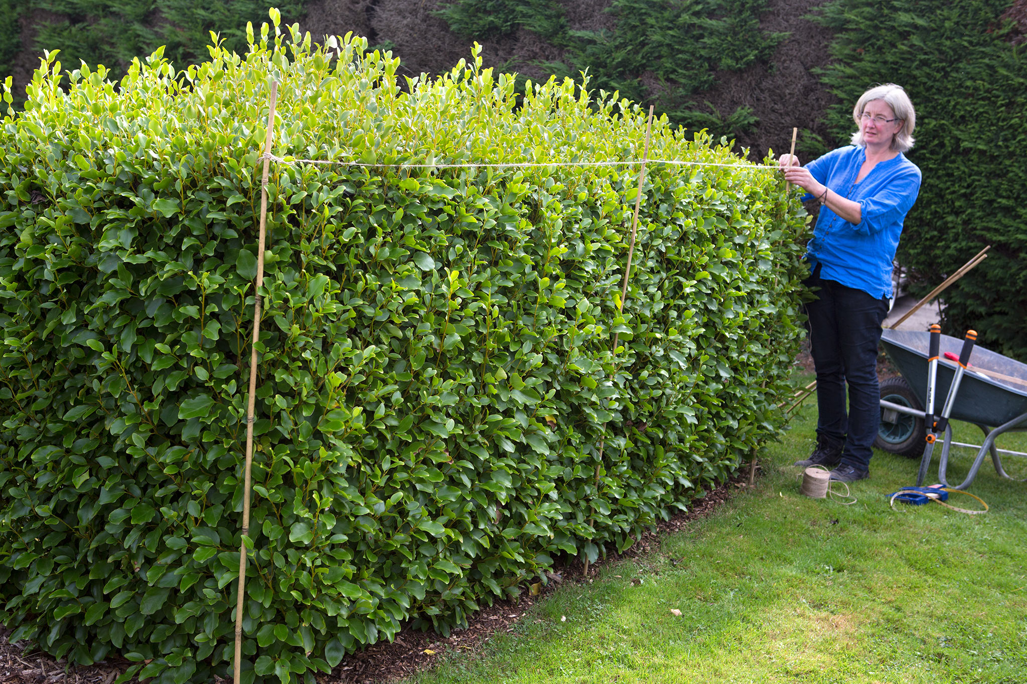 pruning-a-griselinia-hedge-2