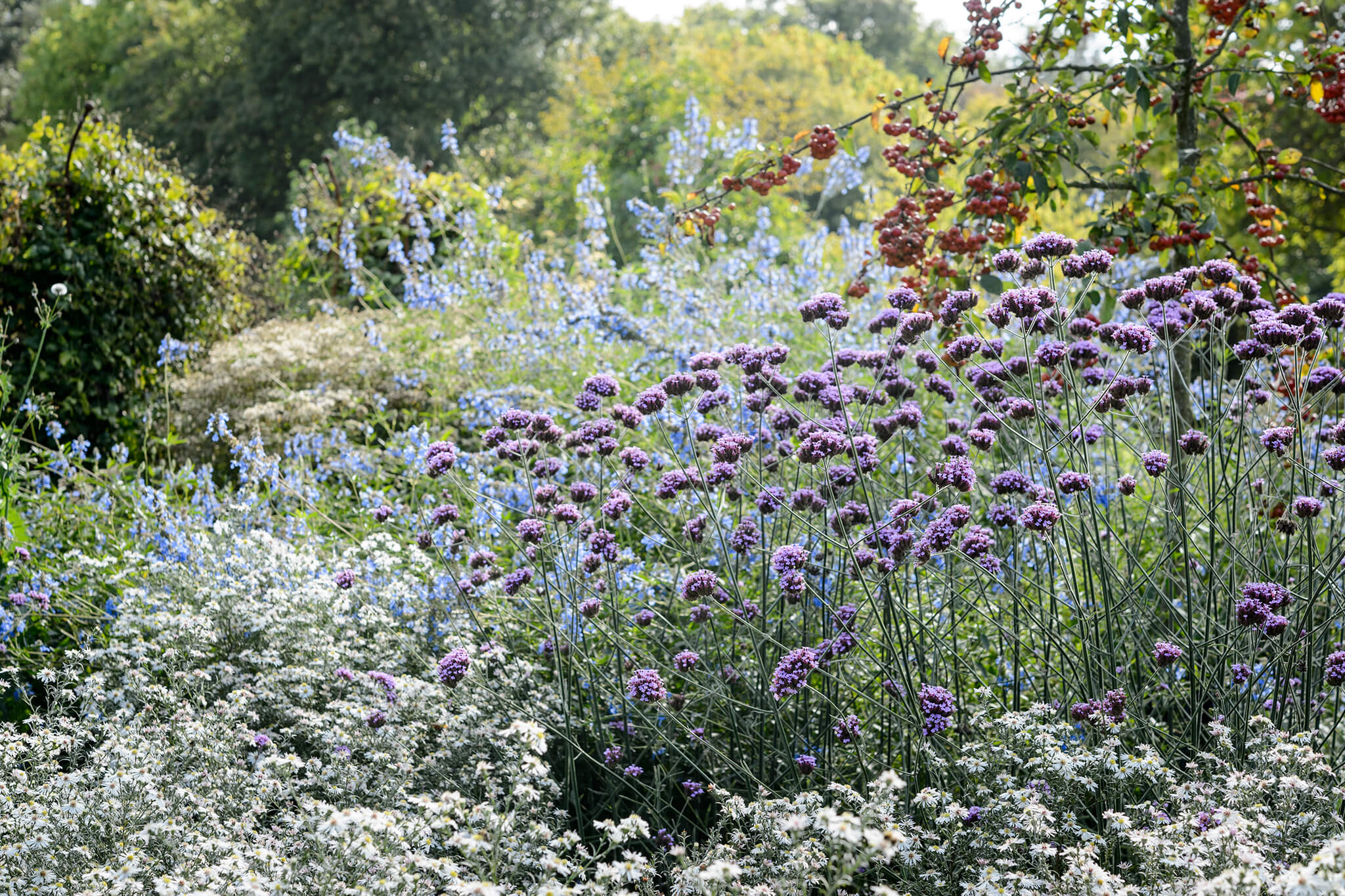 verbena-and-michaelmas-daisies-2