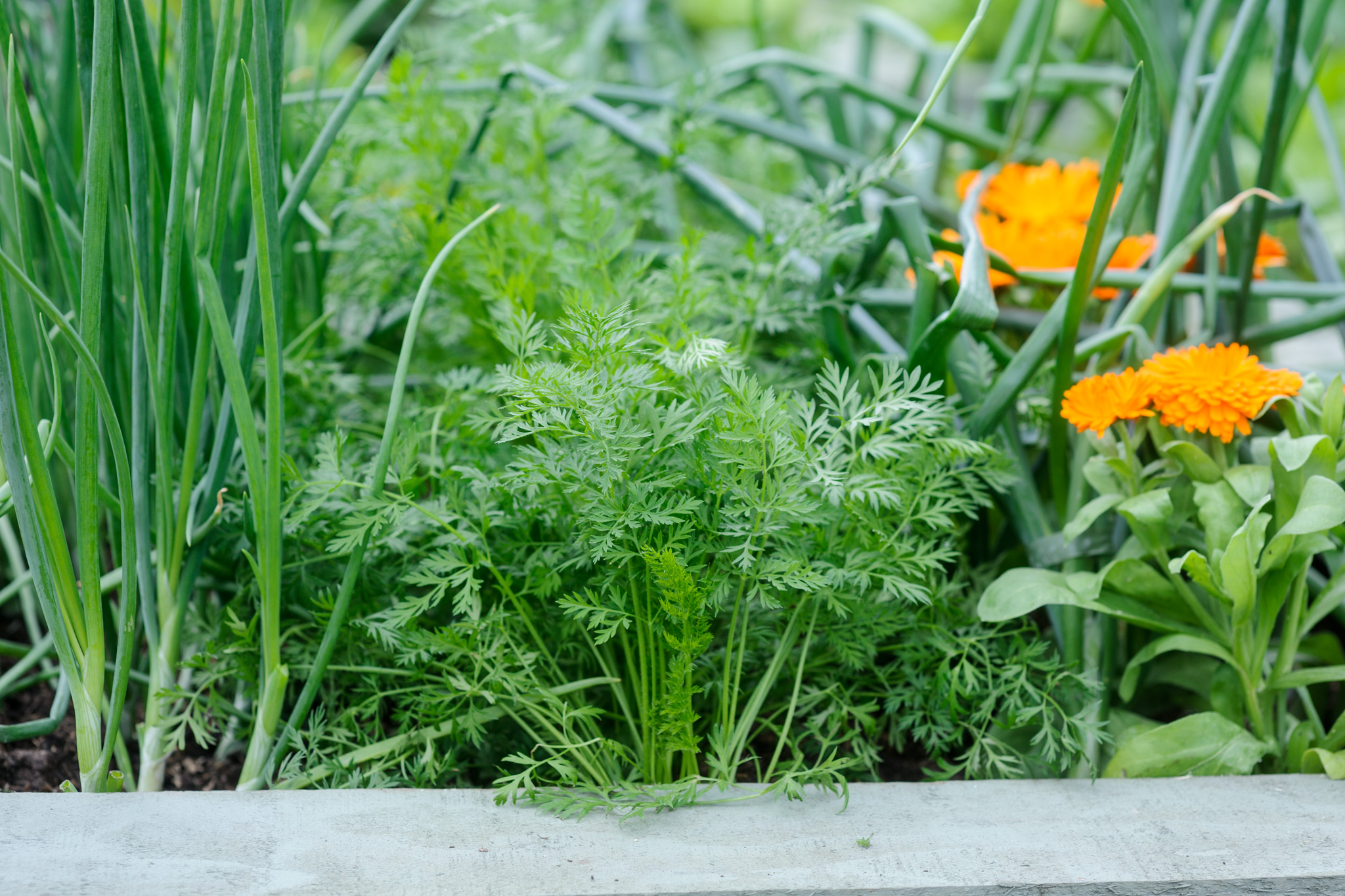 grow-with-alliums-2
