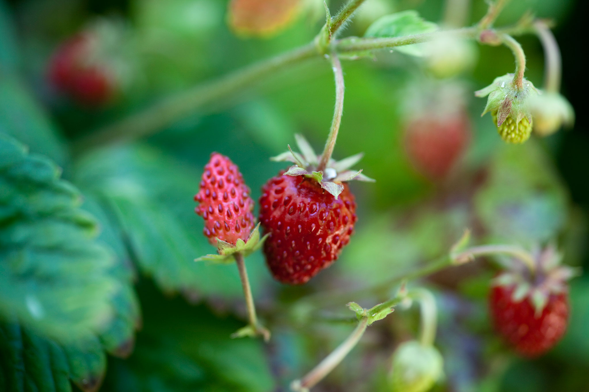 alpine-strawberries-6