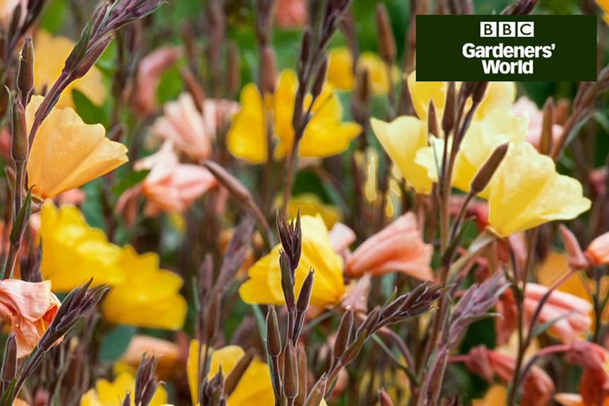 How to plant evening primroses in autumn video