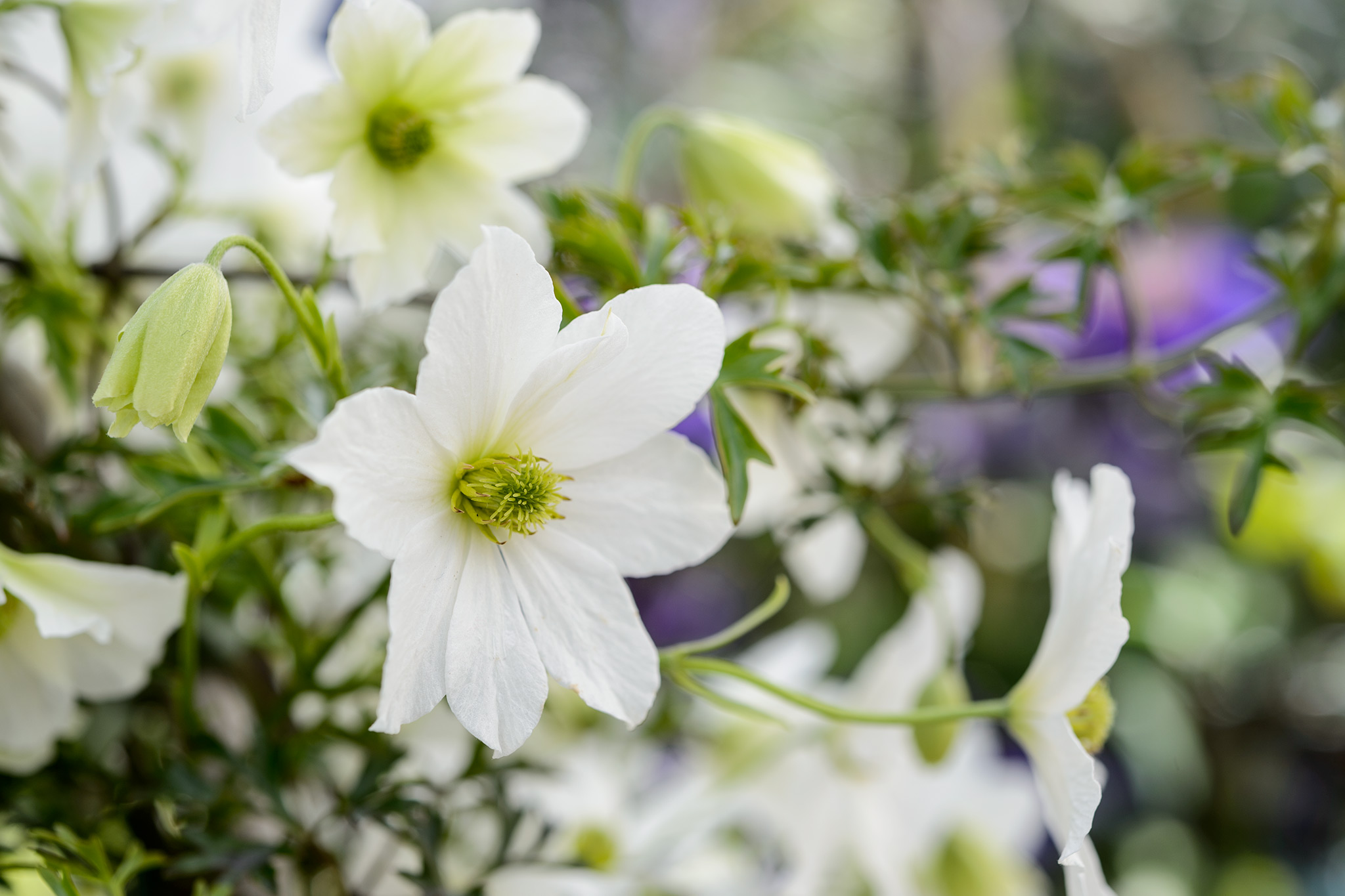 clematis-cartmanii-early-sensation-2