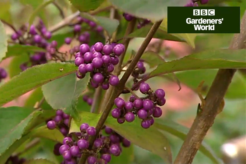 How to plant calliarpa video