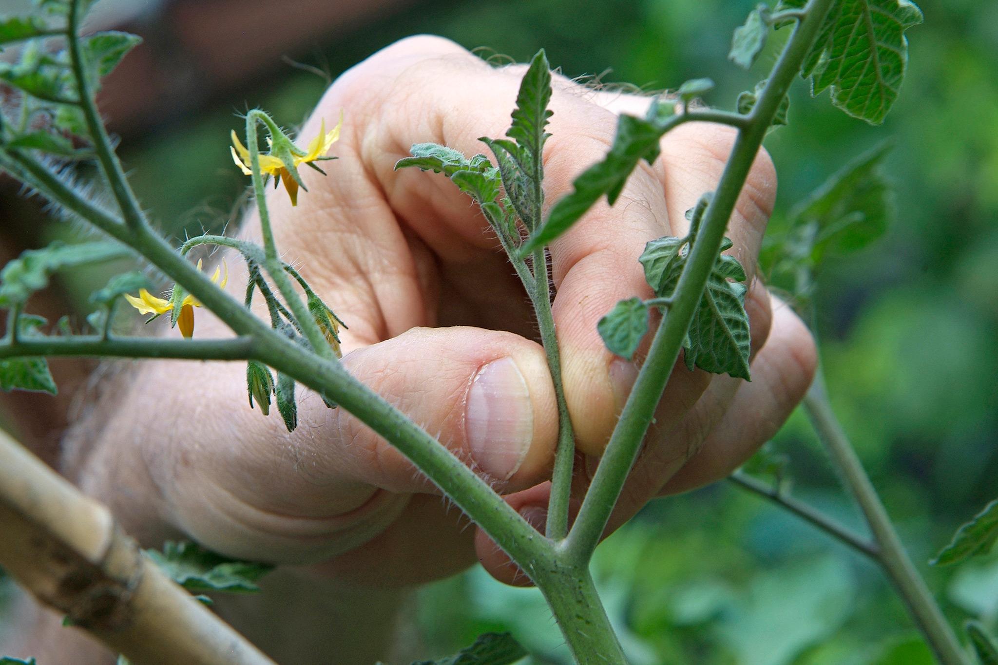 pinching-out-tomato-sideshoots-3