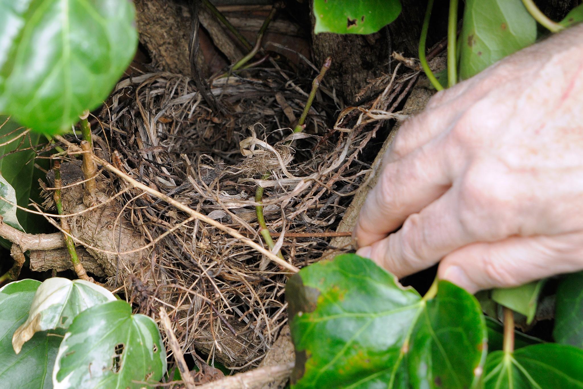 birds-nest-in-hedge-2