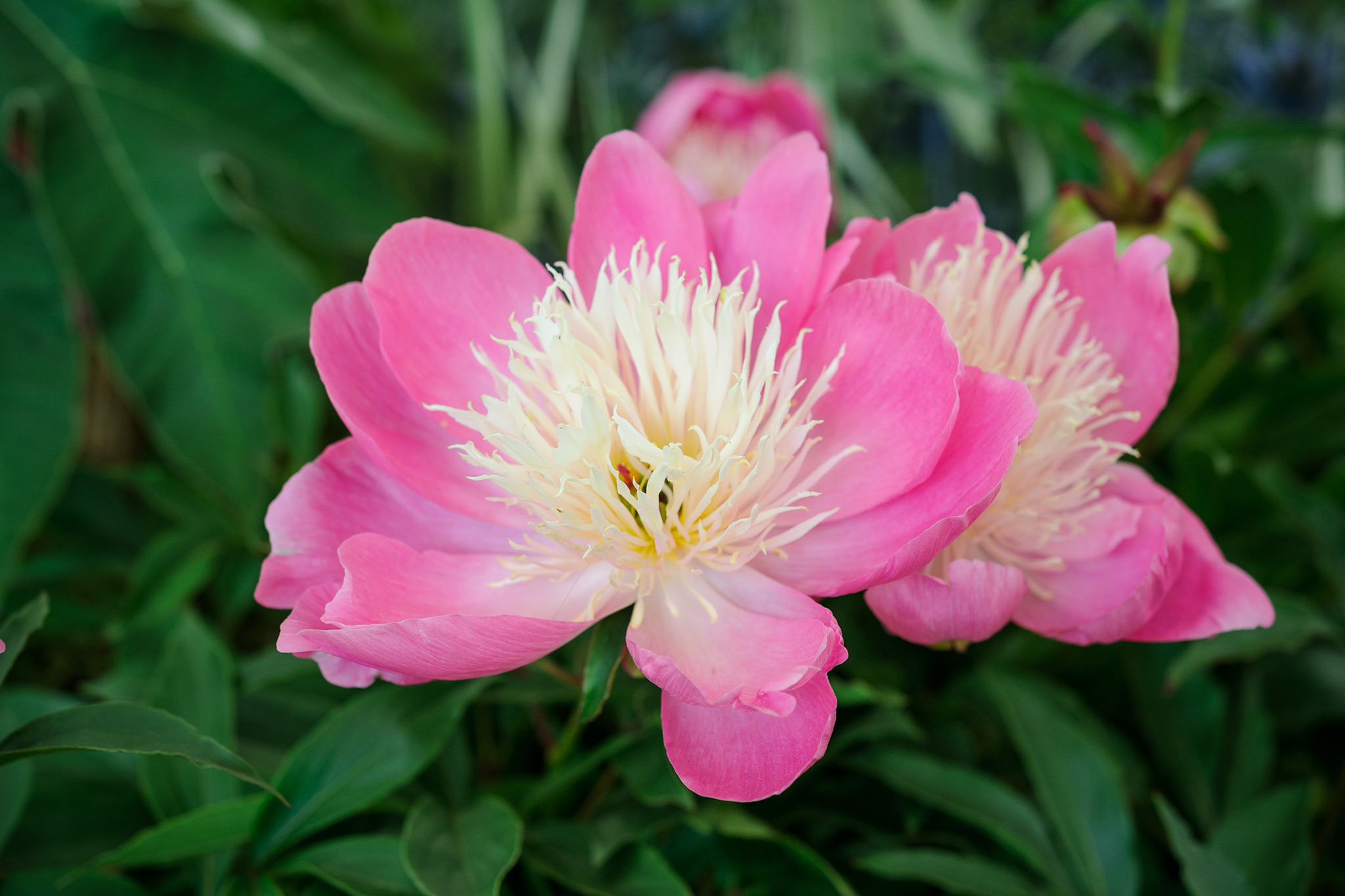 paeonia-bowl-of-beauty-3