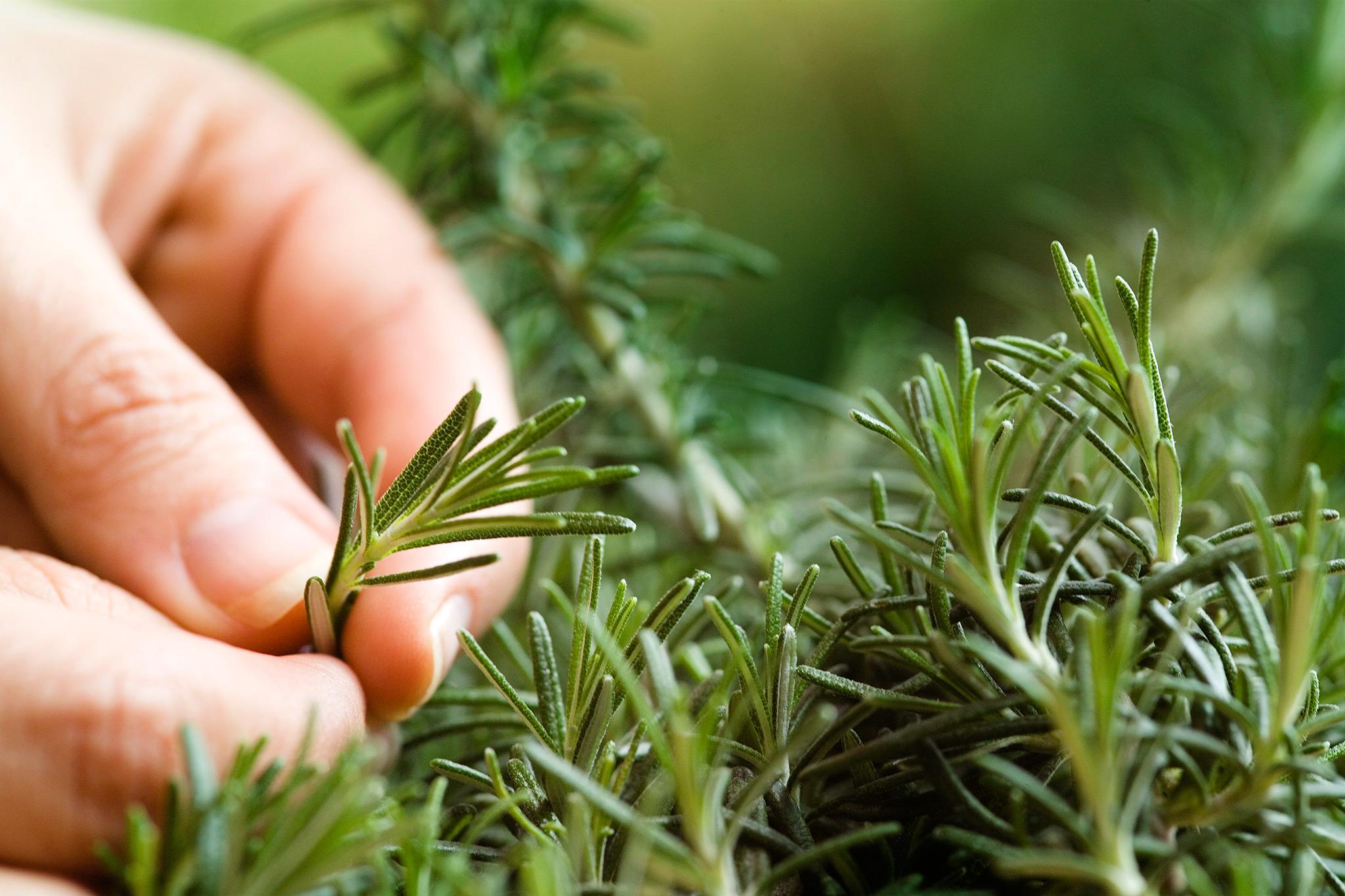 harvesting-rosemary-leaves-2