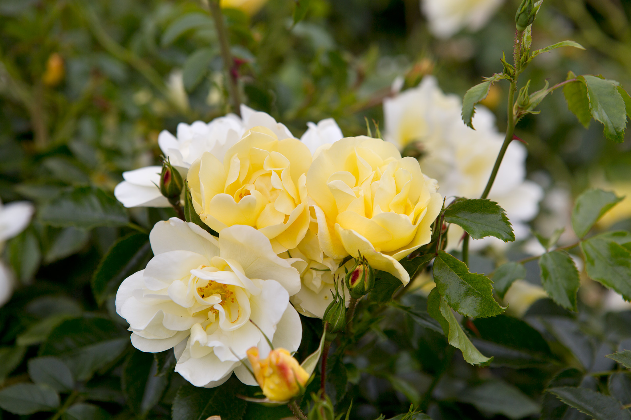 rosa-flower-carpet-sunshine-2