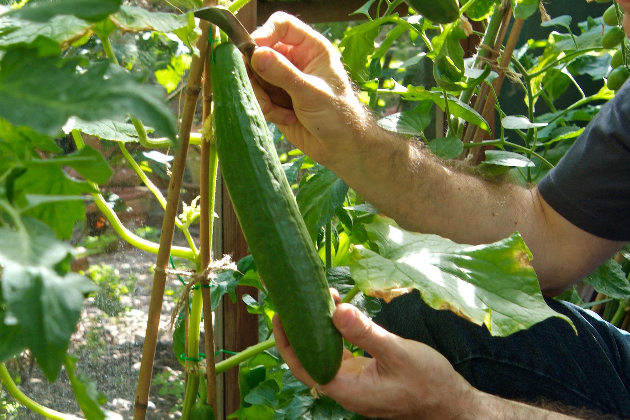 how to grow cucumbers indoors uk