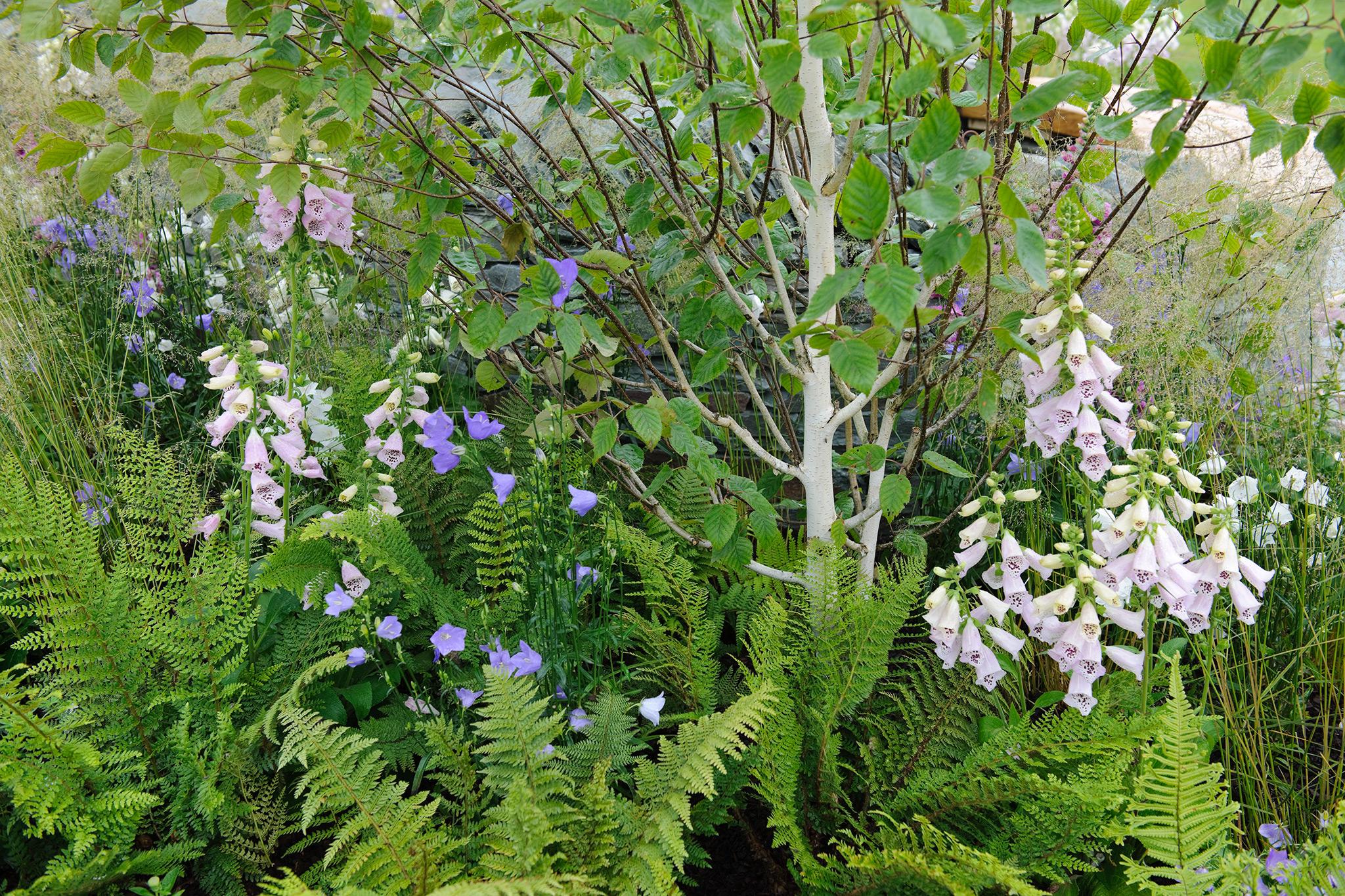 Silver birch Betula utilis