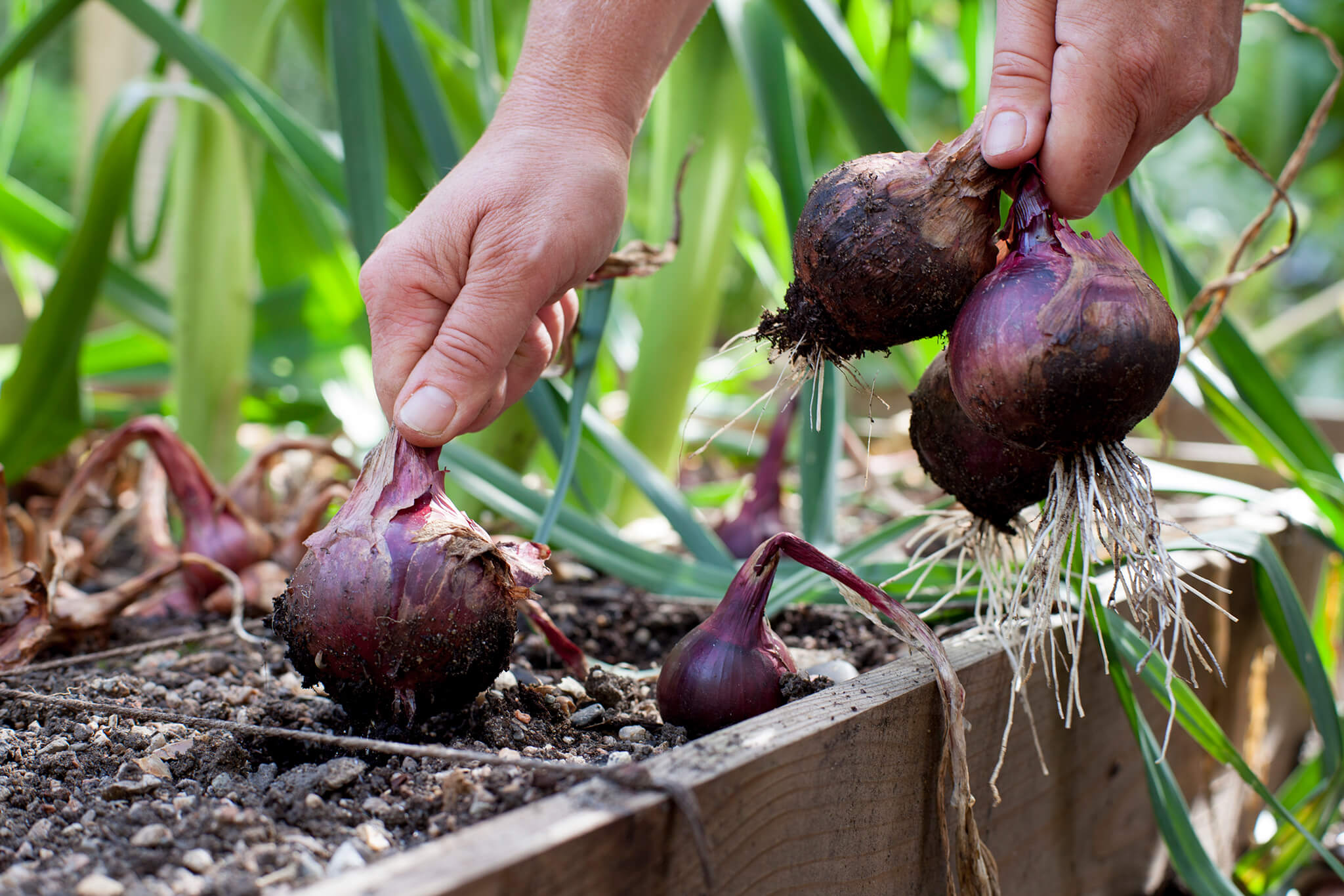 onion-harvesting-9