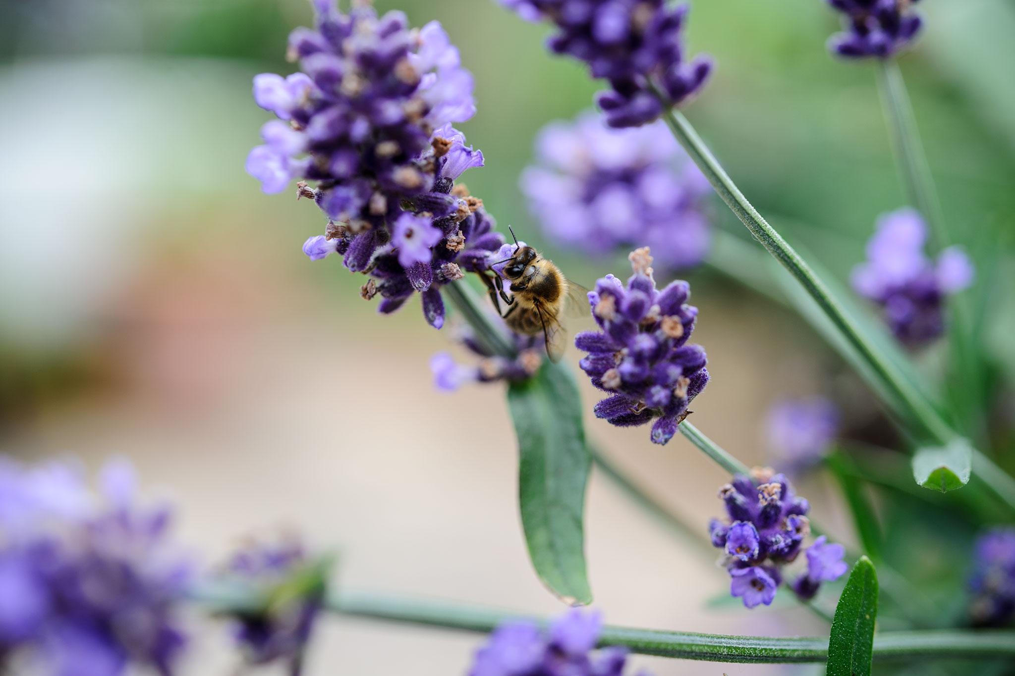 lavender-12