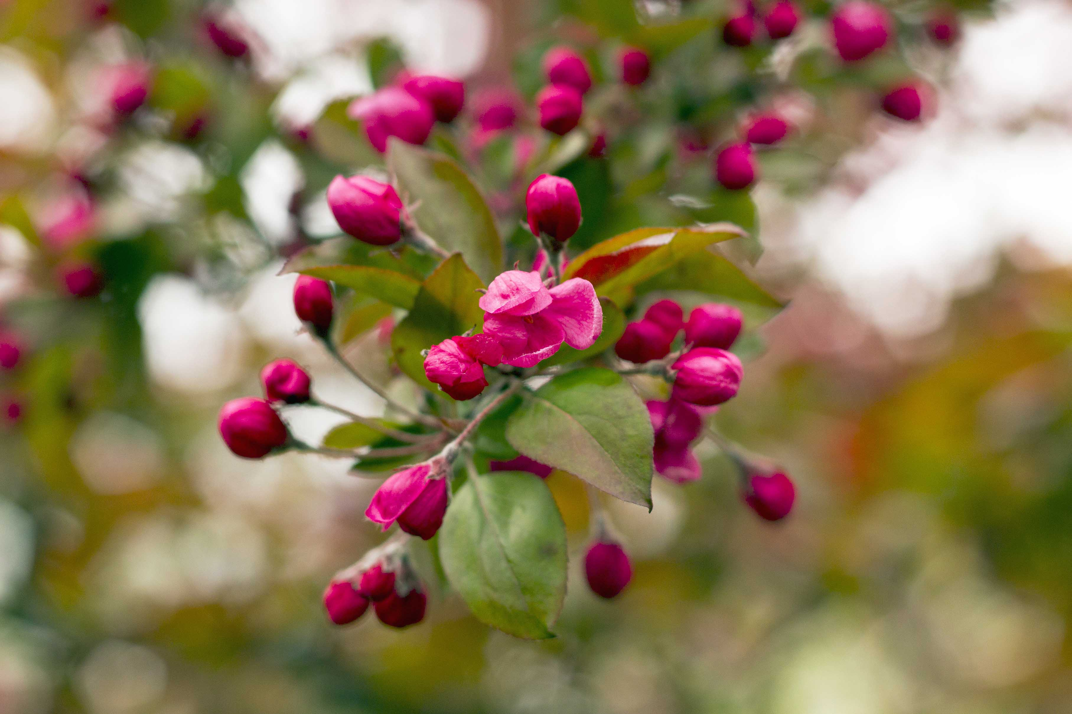 10 trees with beautiful spring blossom gardenersworld malus royalty 3 mightylinksfo