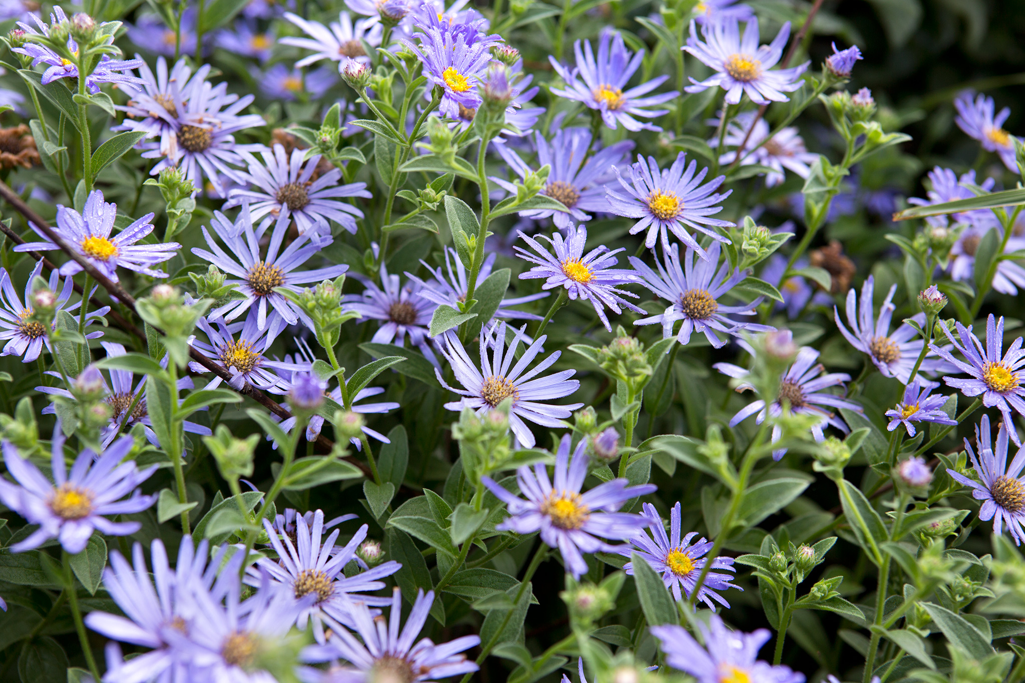 flowers-to-pick-in-september-aster-2
