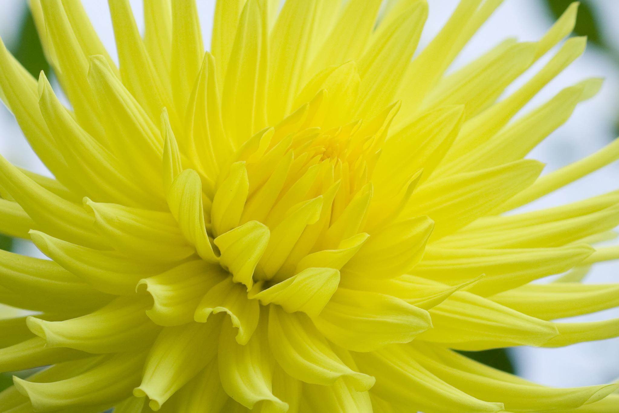dahlia-yellow-galator-2