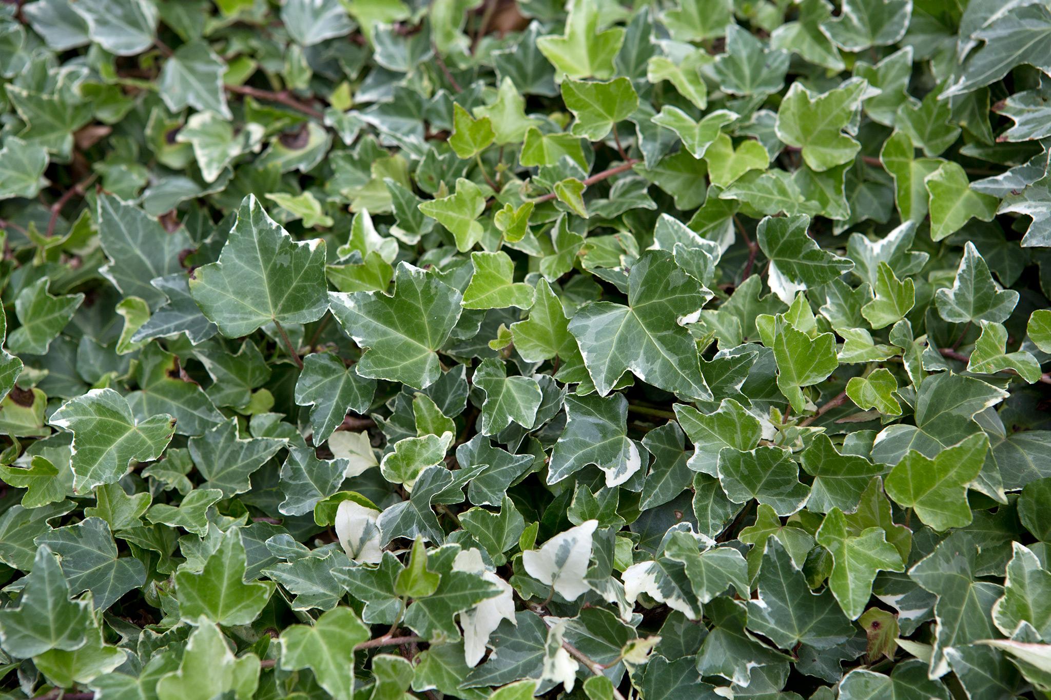 ivy-leaves-2