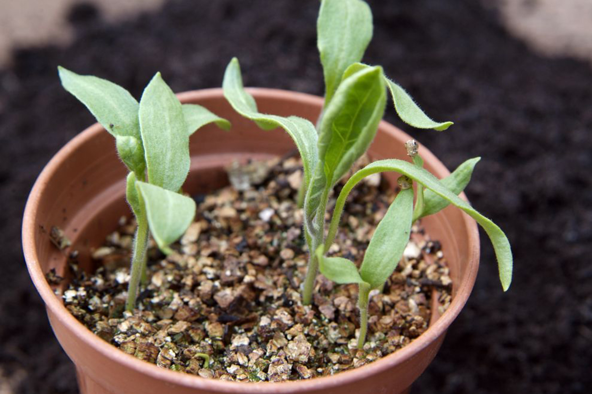 aubergine-seedlings-2