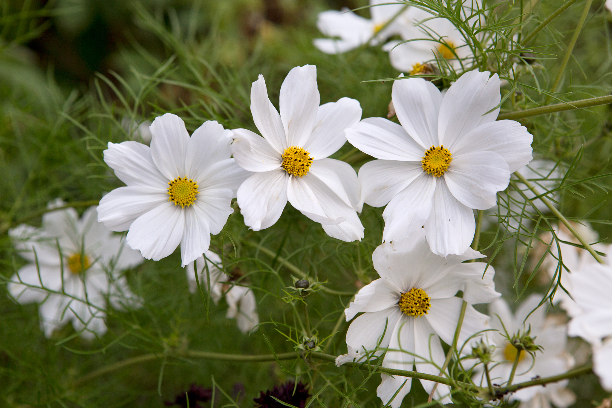 Best plants with white flowers gardenersworld keep deadheading them as the blooms fade to prolong flowering for planting ideas check out eight plants to grow with cosmos mightylinksfo