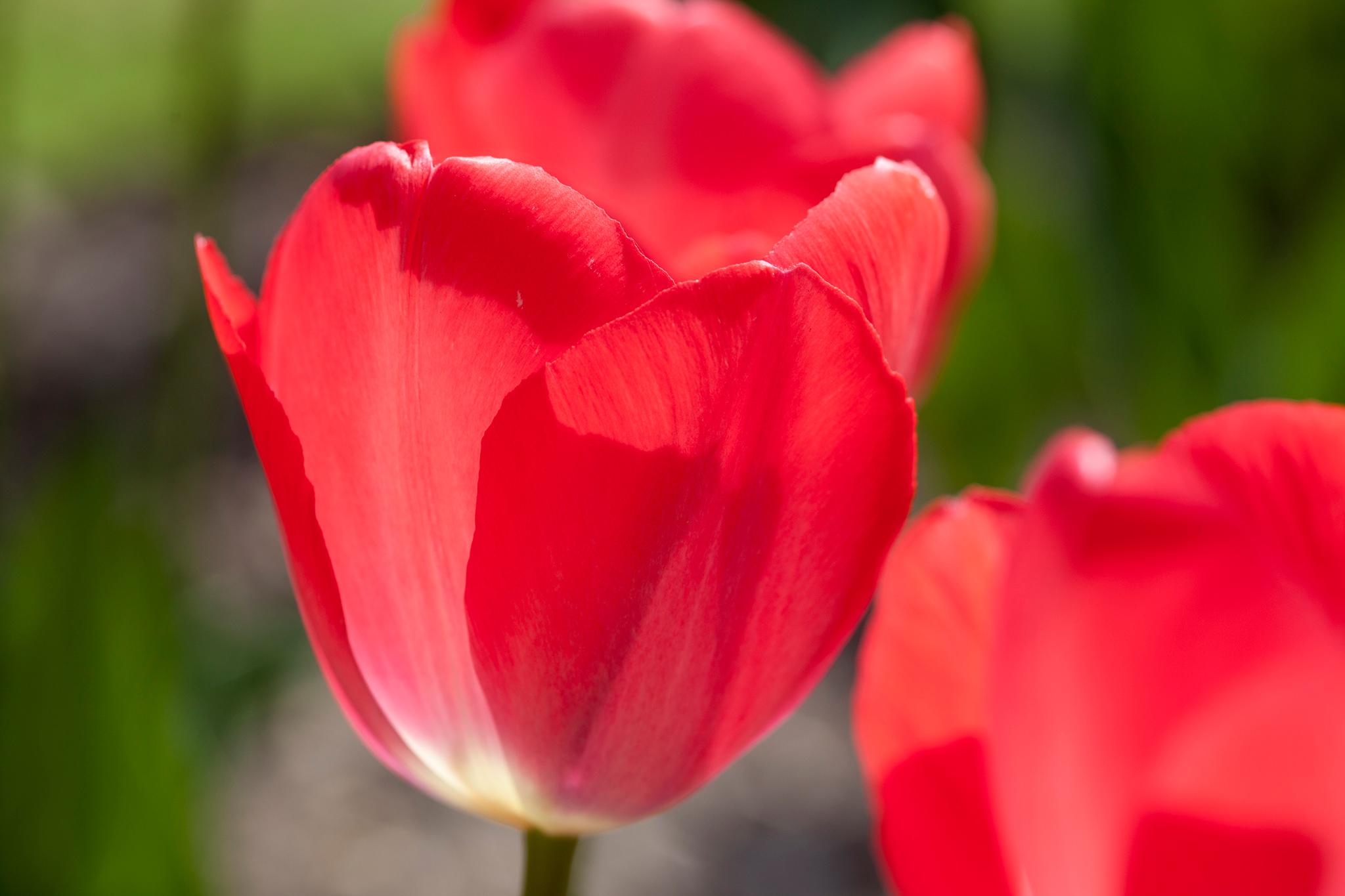 tulipa-van-eijk-2
