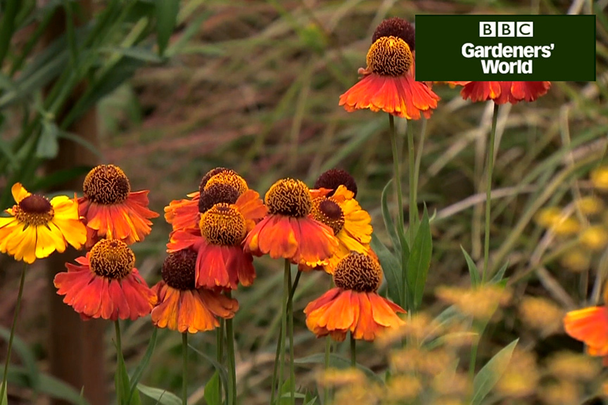 How to plant heleniums video