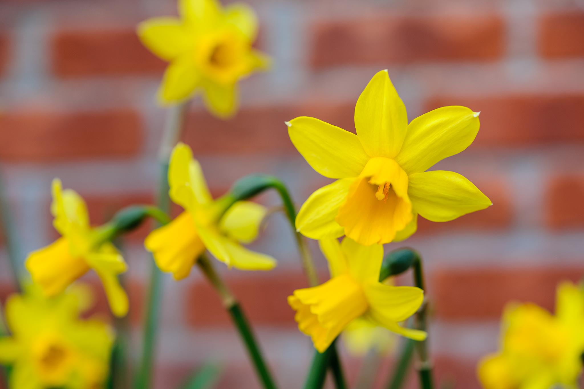 daffodil-flowers-4