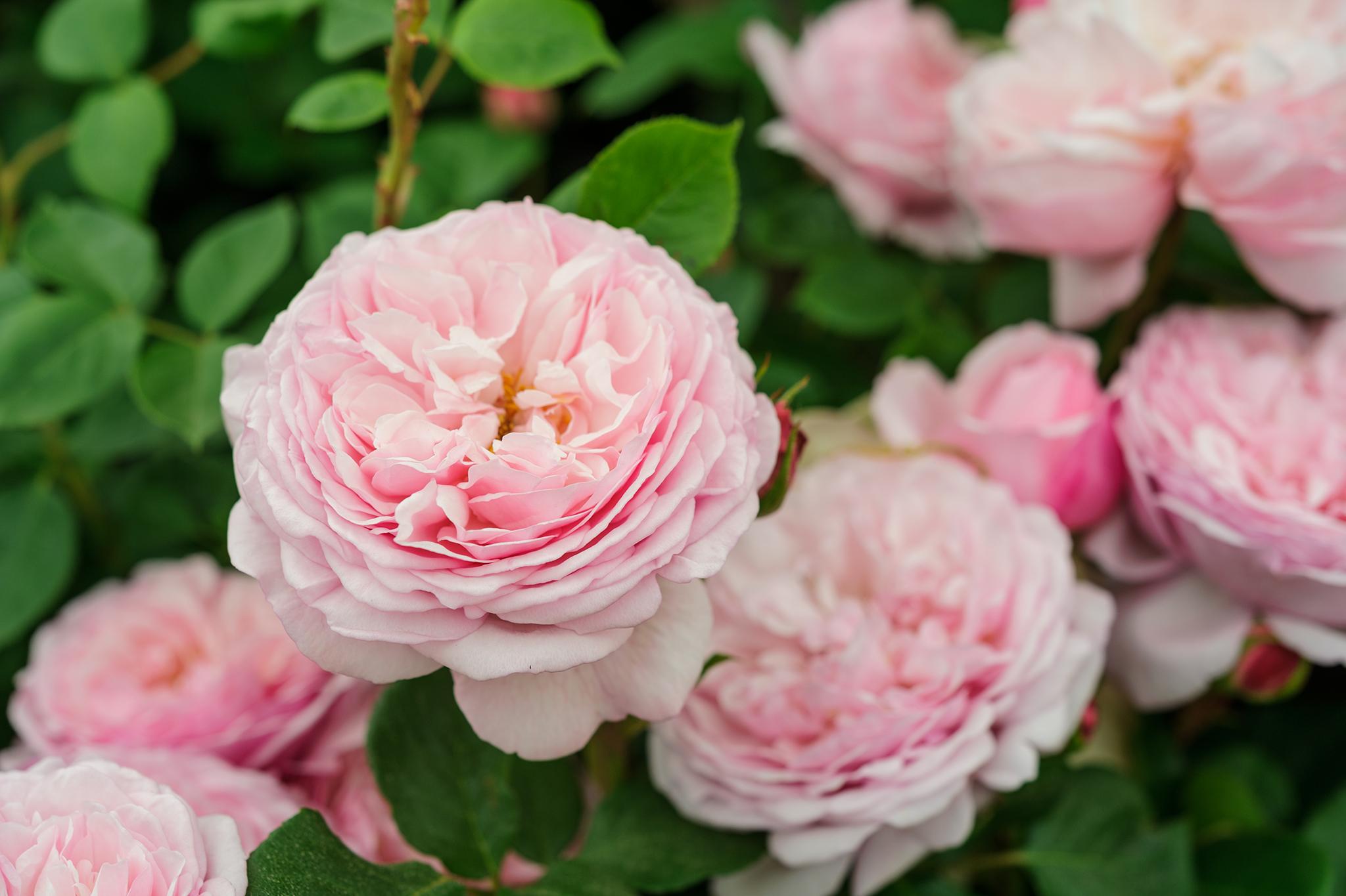 Rosa St Ethelburga
