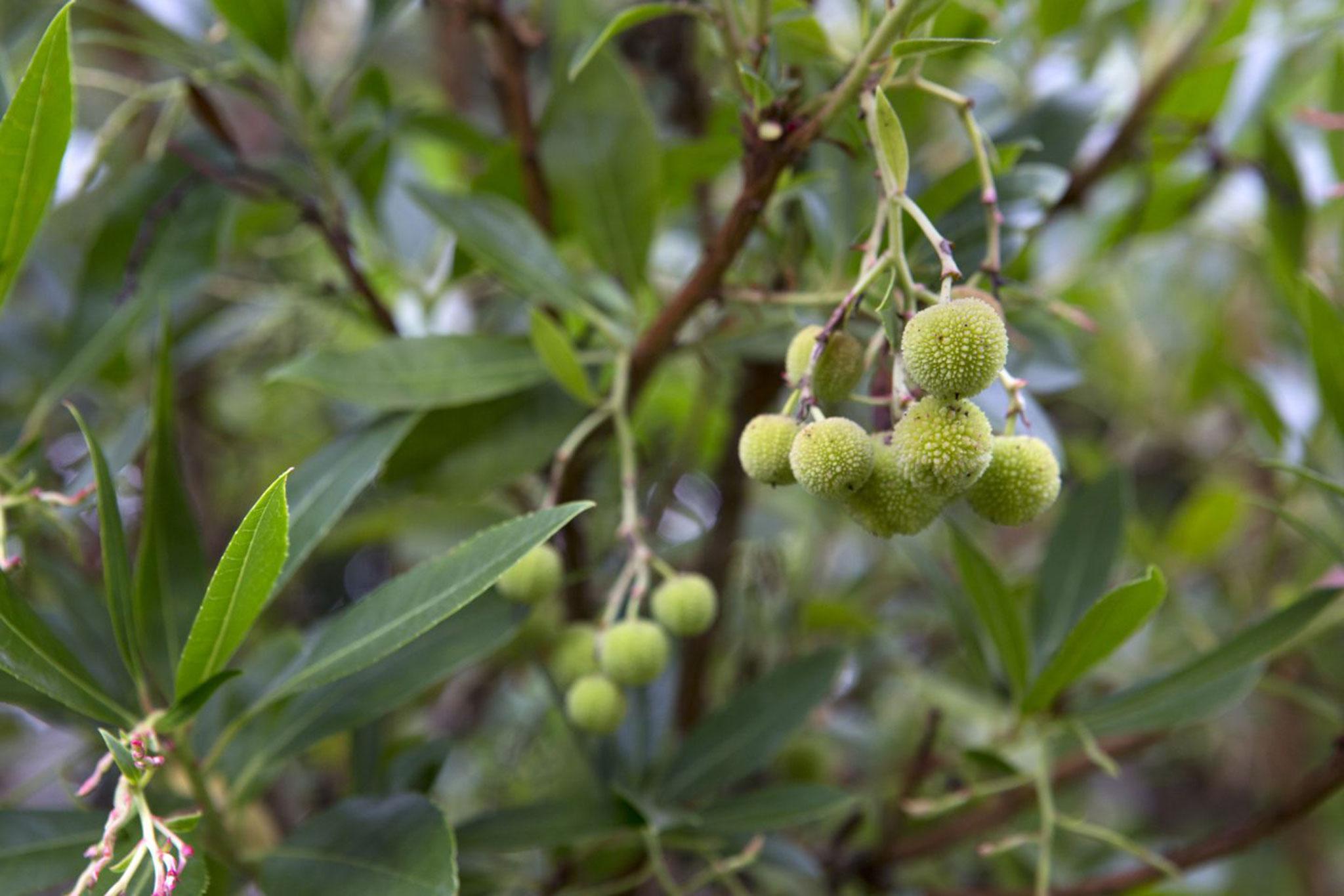 strawberry-tree-2