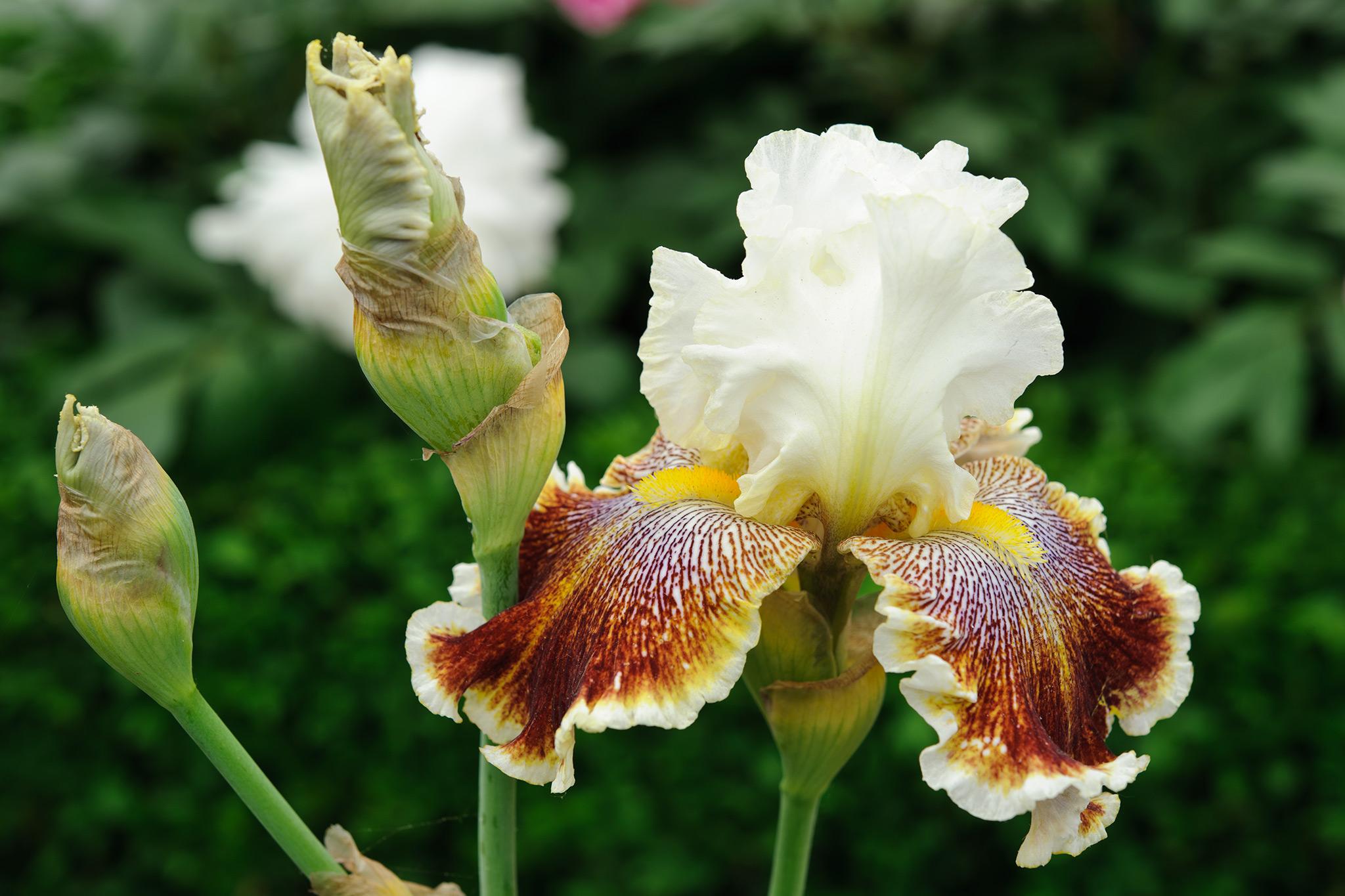 Grow Guide Bearded Iris Gardenersworld