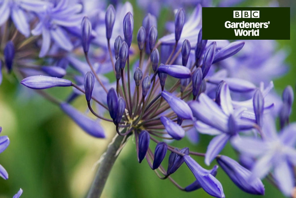 How to grow agapanthus in pots video