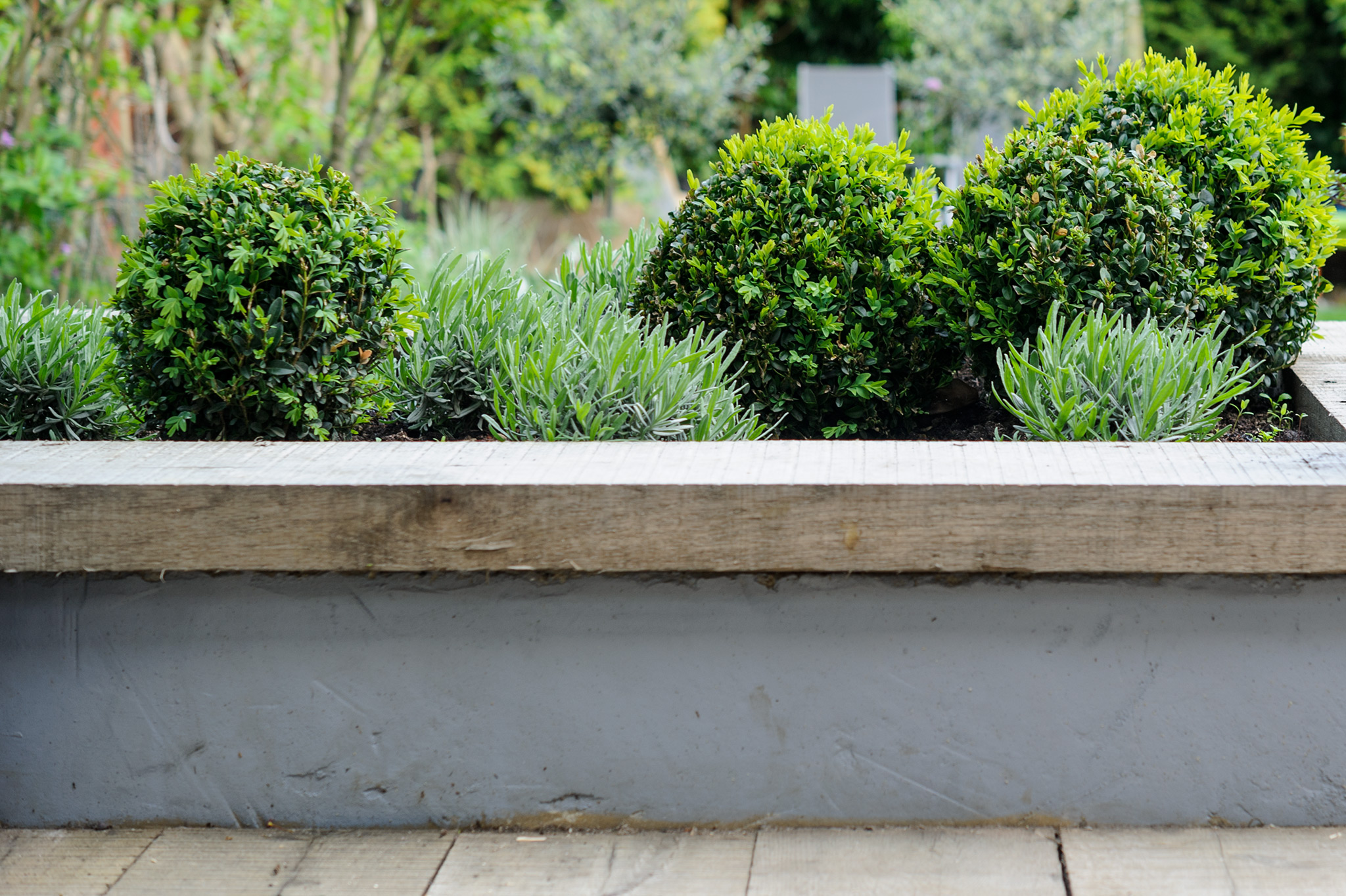 box-buxus-sempervirens-2