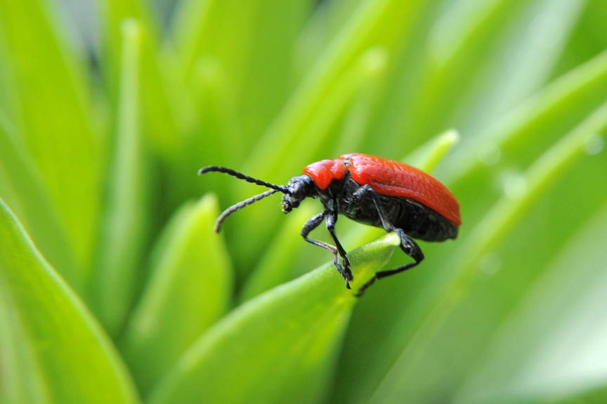 Quick Tips How should I deal with lily beetles