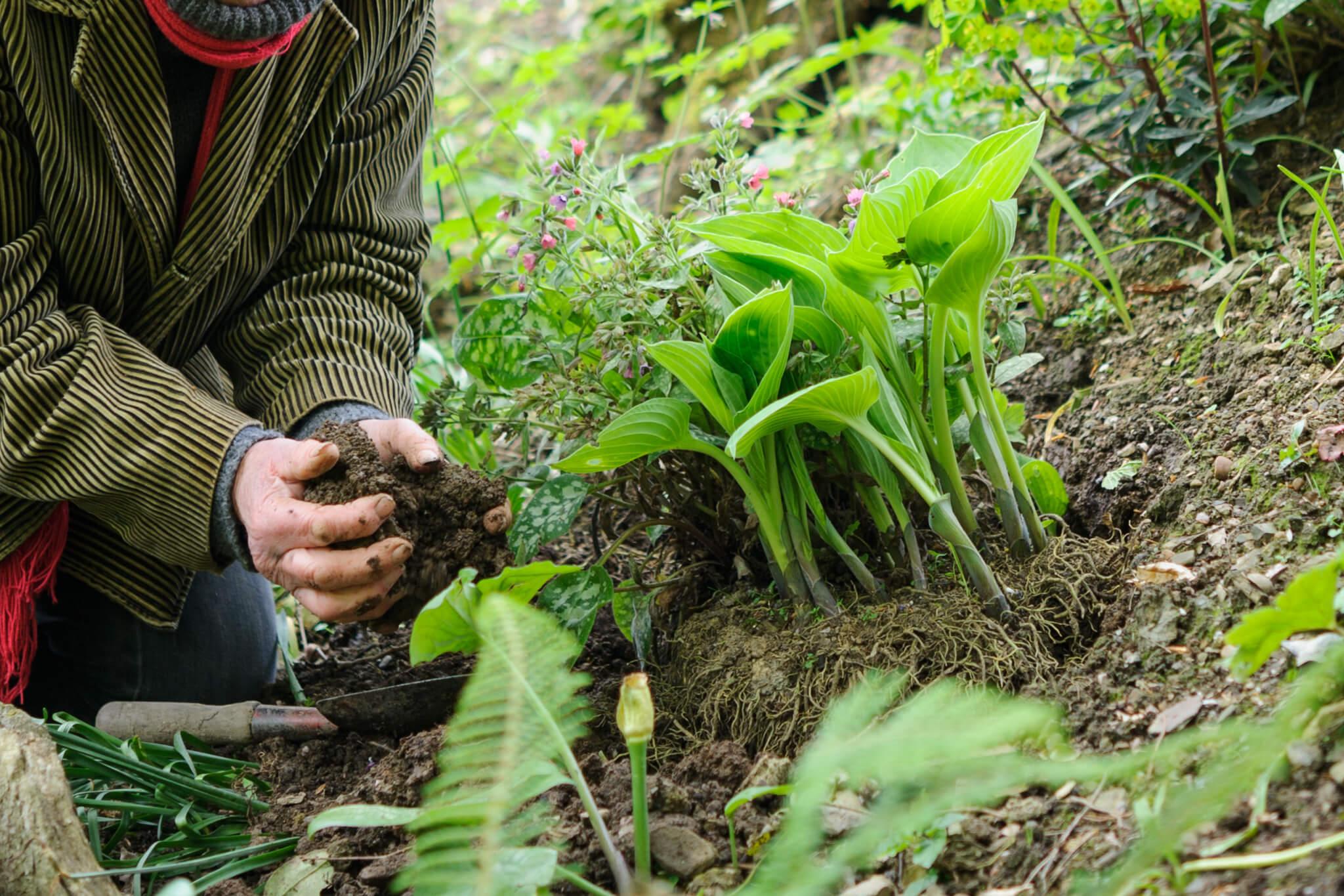 planting-a-hosta-2