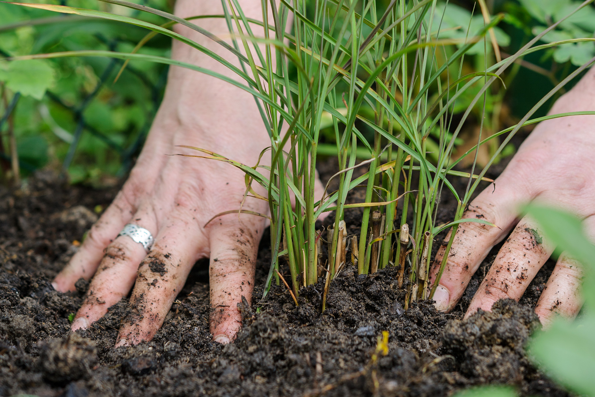 planting-an-ornamental-grass-3