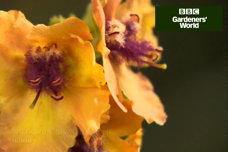 How to take root cuttings of verbascum video