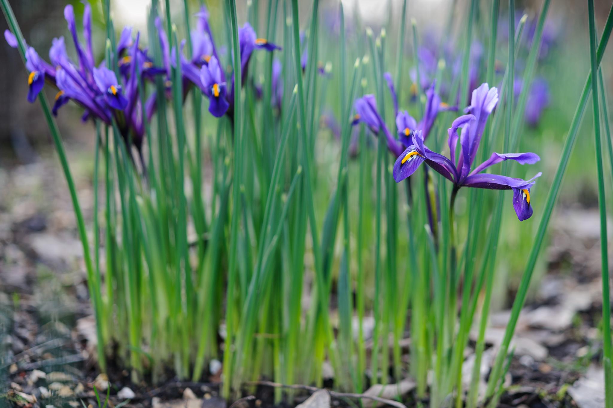 iris-reticulata-5