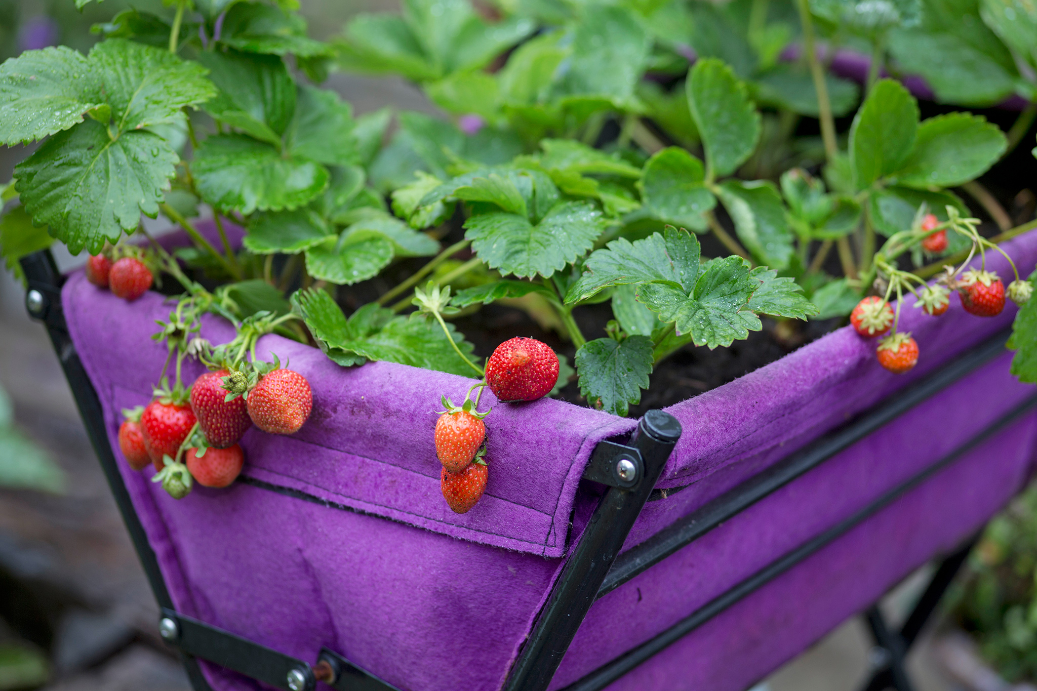 growing-strawberries-in-a-pop-up-trug-2