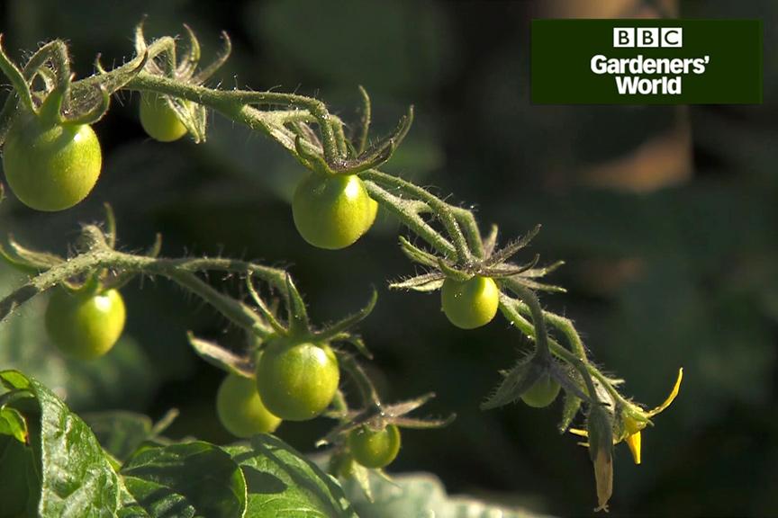 Monty Don's tomato trial part six video