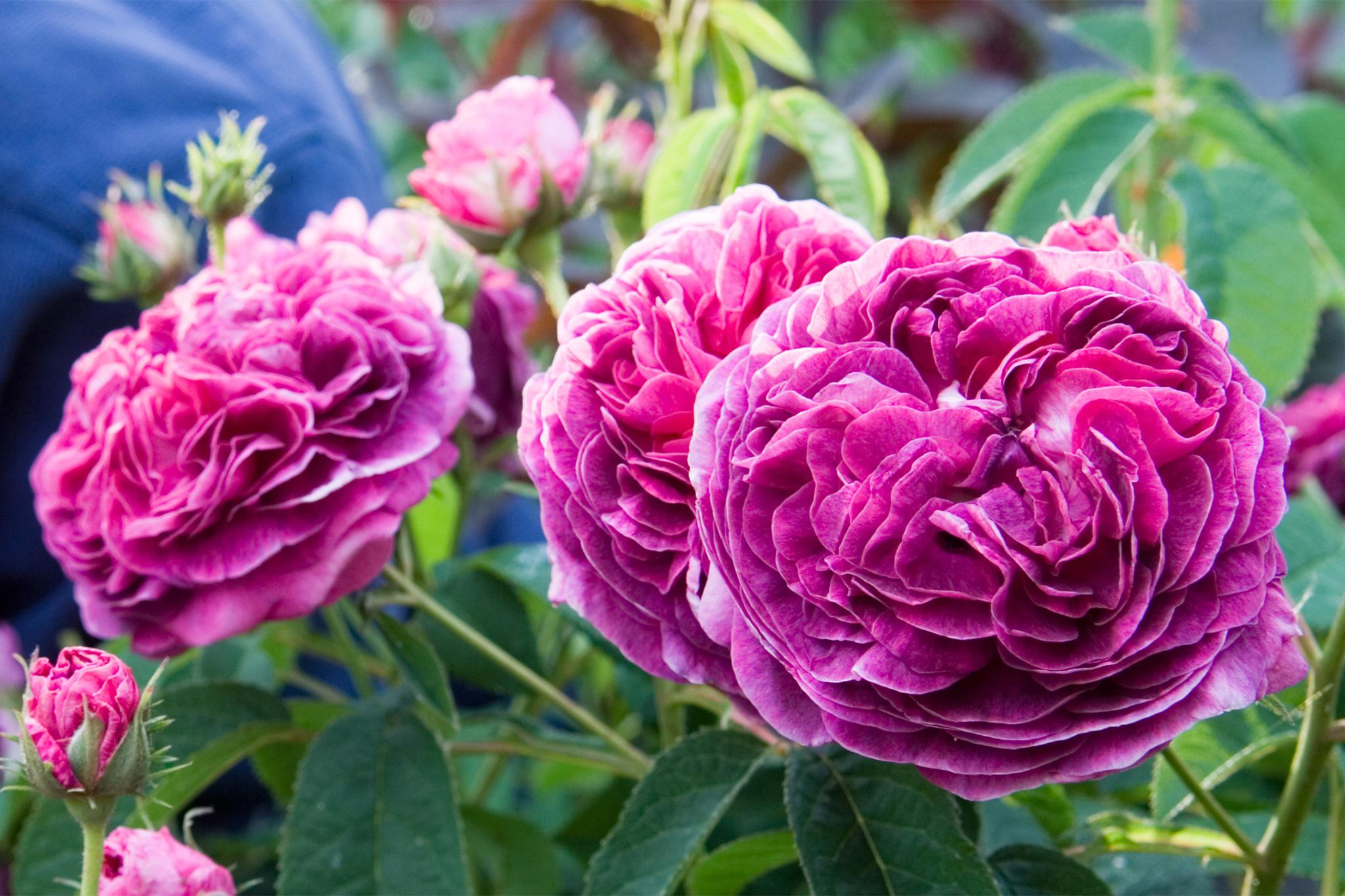 rosa-charles-de-mills-4
