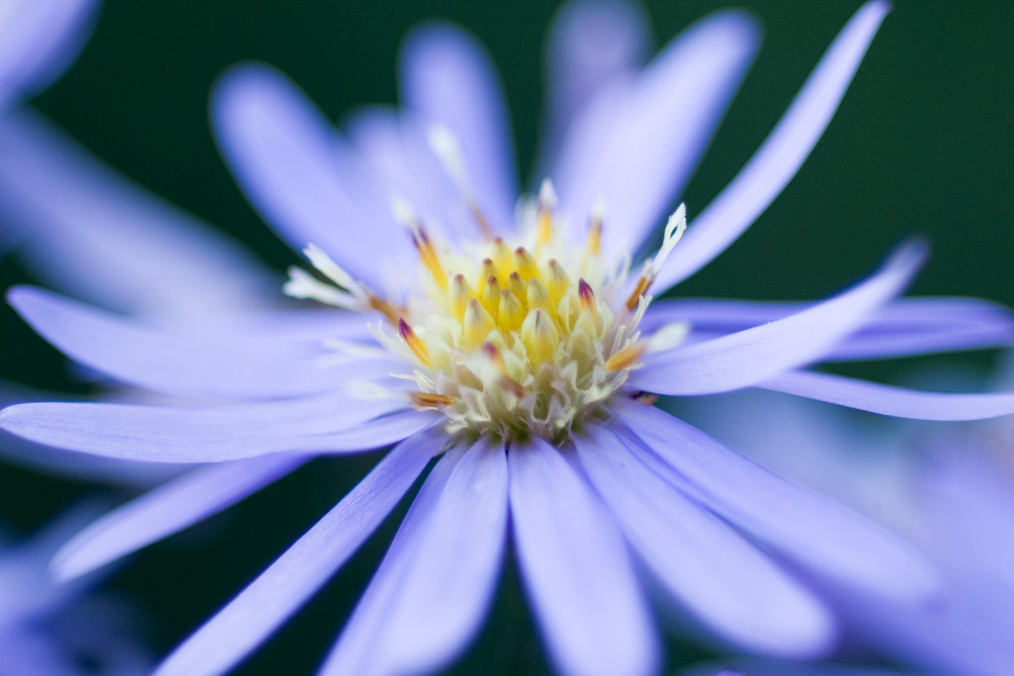 12 Great Michaelmas Daisies To Grow Gardenersworld