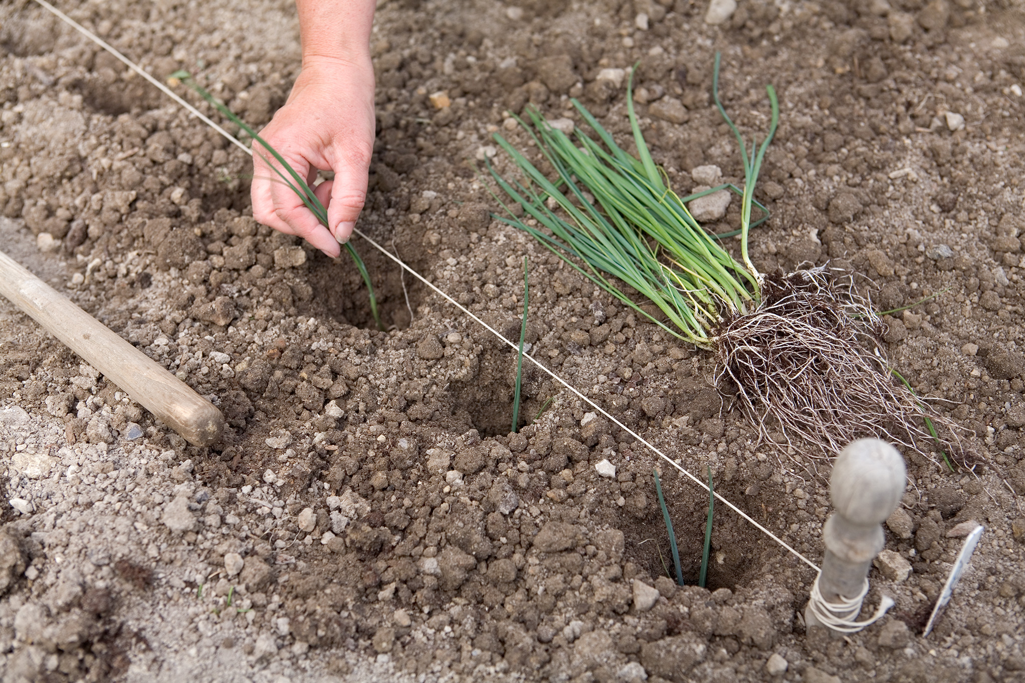 planting-out-leeks-2