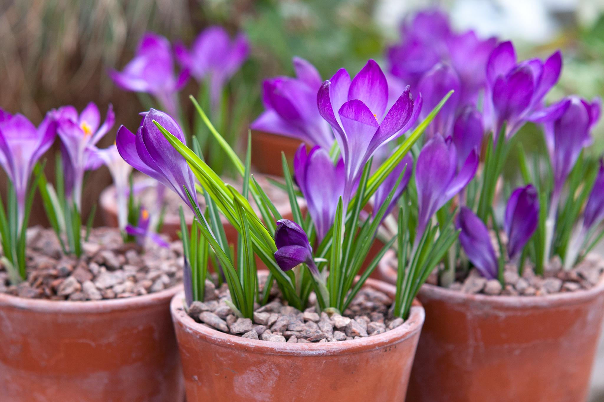 crocus-tommasianus-barrs-purple-6