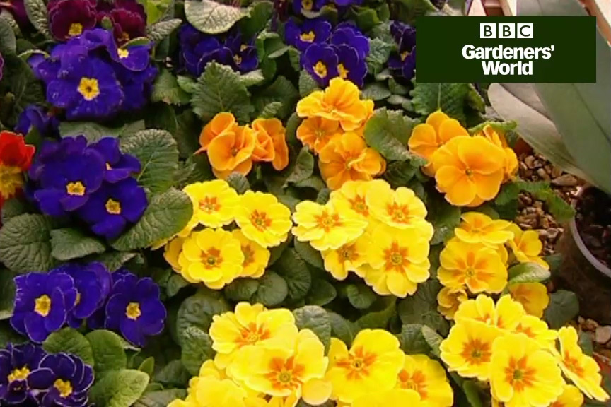 How to grow polyanthus from seed video