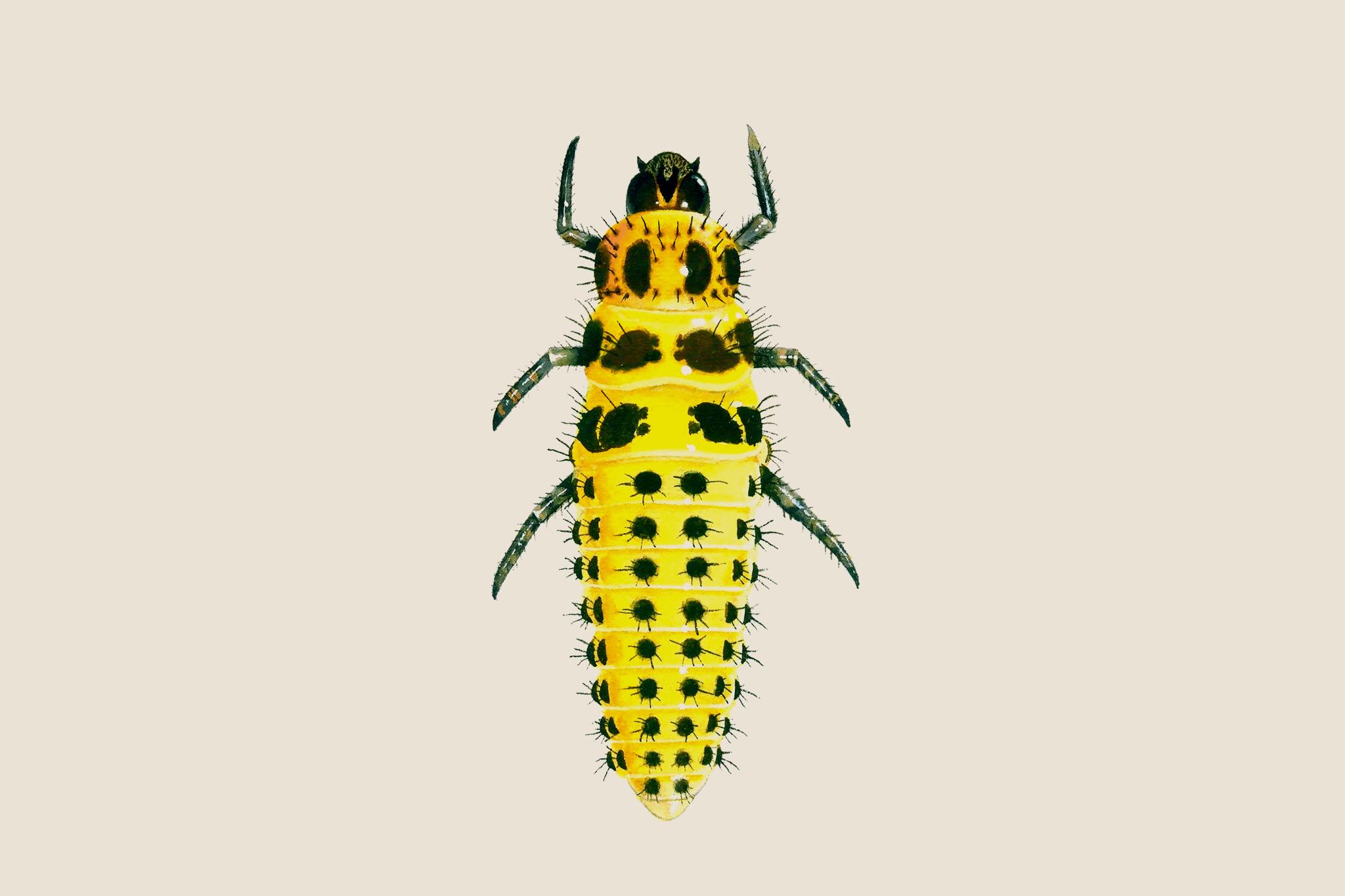 22-spot-ladybird-larvae-2