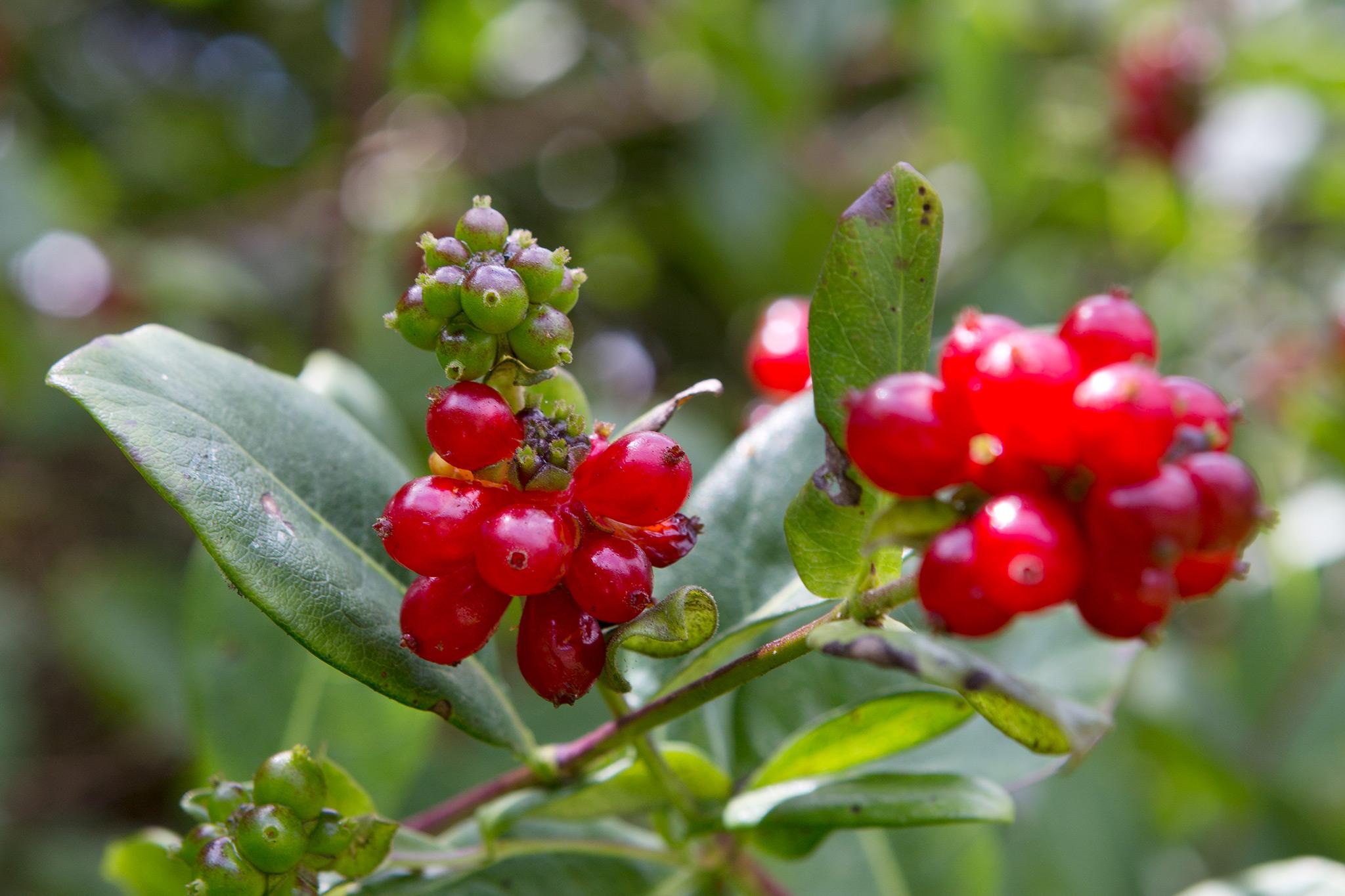 honeysuckle-berries-2