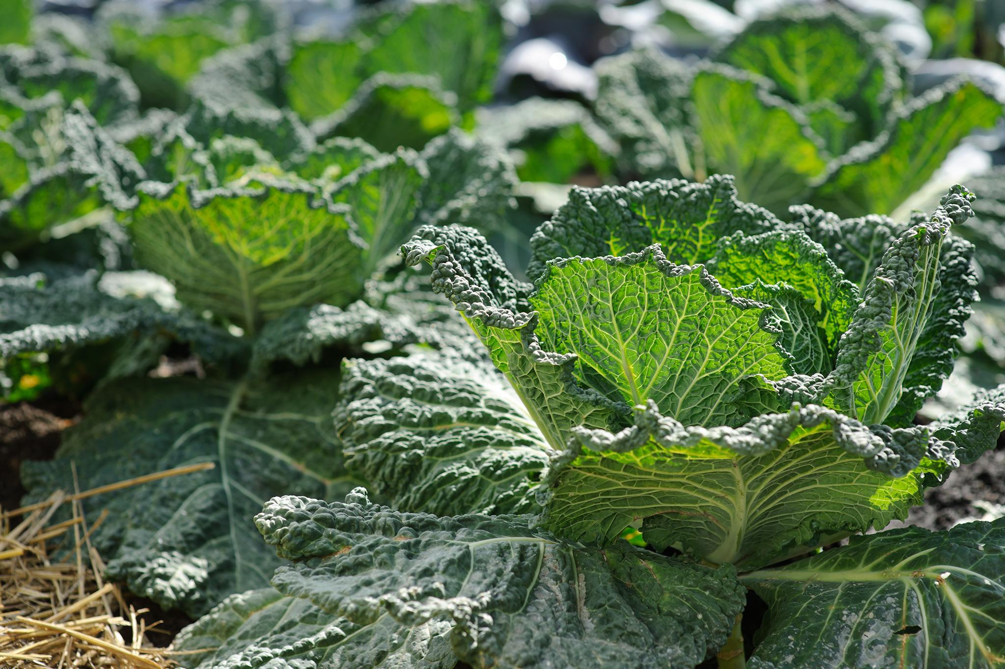 Savoy cabbage heads