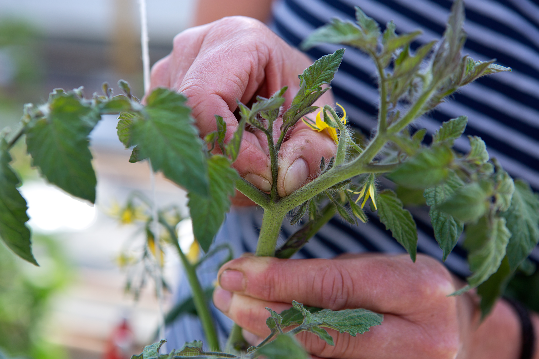pinching-out-sideshoots-on-tomatoes-2
