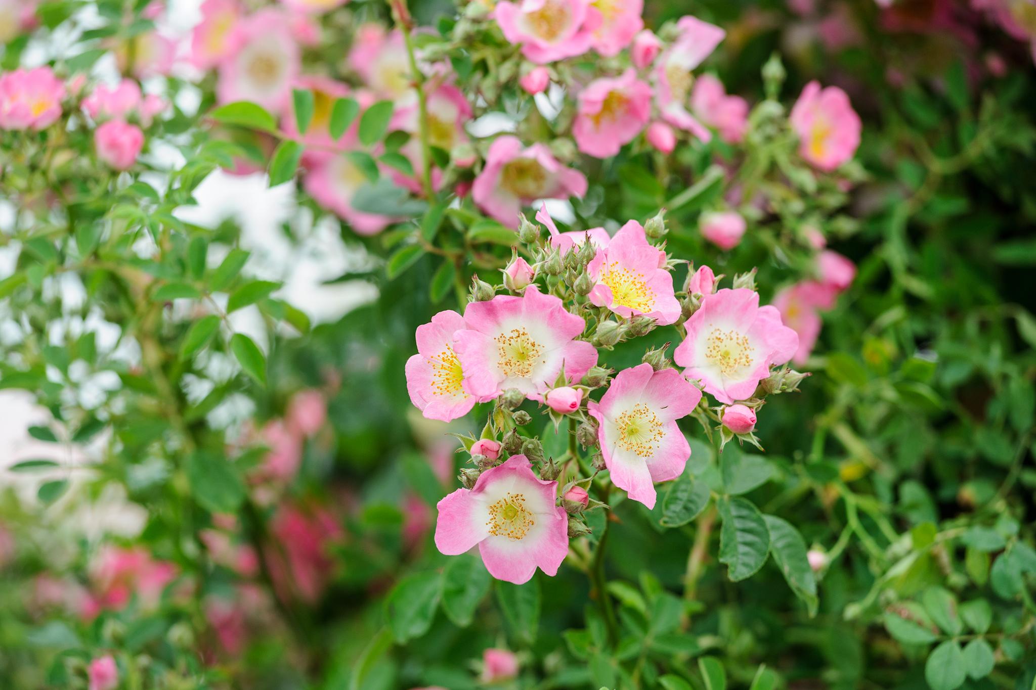 rambling-rose-11